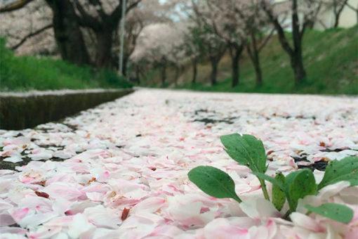 第7回「福山大学の桜」ミニフォトコンテスト!