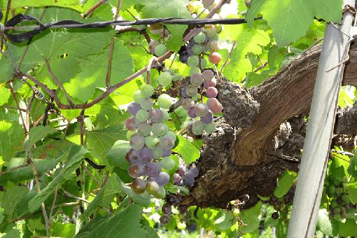 【生物工学科】ブドウの収穫時期が近づいてきました