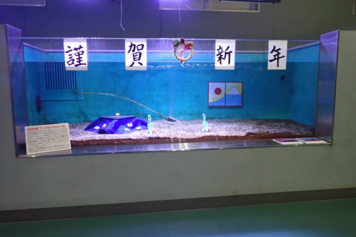 【海洋生物科学科】新春恒例!! 水族館マリンバイオセンターの干支水槽♬