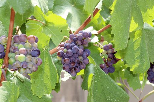 【生物工学科】福山大学ワインプロジェクトとは?