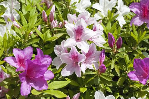 【キャンパス】今年もつつじが綺麗に咲いています!