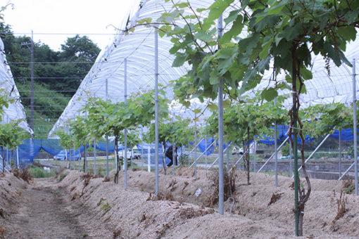 【生物工学科】東村葡萄園2年目のビニール張り