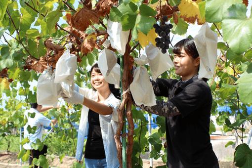 【生物工学科】東村葡萄園で初の収穫!