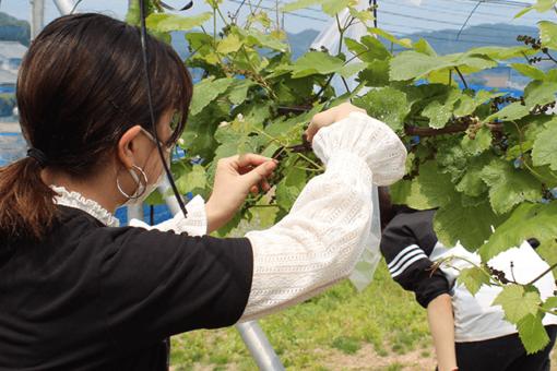 【生物工学科】東村葡萄園でのブドウ栽培実習を開始!