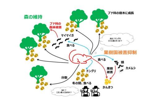 【生物工学科】福山大学ブランドの研究成果:森のネズミの生態的役割の解明